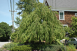 Weeping Katsura Tree (Cercidiphyllum japonicum 'Pendulum') at North Branch Nursery