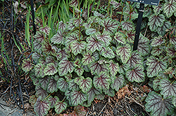Green Spice Coral Bells (Heuchera 'Green Spice') at North Branch Nursery