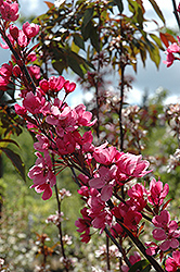 Show Time Flowering Crab (Malus 'Shotizam') at North Branch Nursery