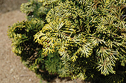 Verdoni Gold Hinoki Falsecypress (Chamaecyparis obtusa 'Verdoni Gold') at North Branch Nursery