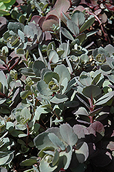 Dazzleberry Stonecrop (Sedum 'Dazzleberry') at North Branch Nursery