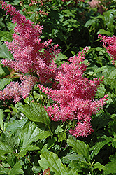 Younique Cerise Astilbe (Astilbe 'Verscerise') at North Branch Nursery