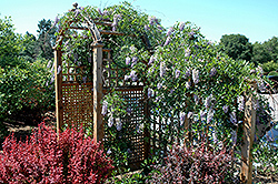 Summer Cascade™ Wisteria (Wisteria macrostachya 'Betty Matthews') at North Branch Nursery