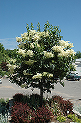 Snowdance™ Japanese Tree Lilac (Syringa reticulata 'Bailnce') at North Branch Nursery