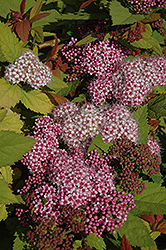 Double Play Big Bang® Spirea (Spiraea 'Tracy') at North Branch Nursery