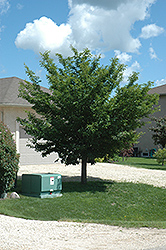 Discovery Elm (Ulmus davidiana 'Discovery') at North Branch Nursery