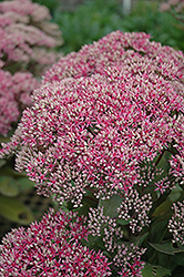 Mr. Goodbud Stonecrop (Sedum 'Mr. Goodbud') at North Branch Nursery