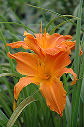 Primal Scream Daylily (Hemerocallis 'Primal Scream') at North Branch Nursery