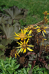 Osiris Cafe Noir Rayflower (Ligularia 'Osiris Cafe Noir') at North Branch Nursery