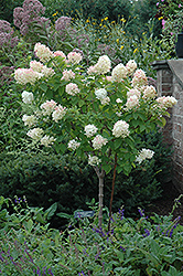 Limelight Hydrangea (tree form) (Hydrangea paniculata 'Limelight (tree form)') at North Branch Nursery