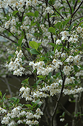 Japanese Snowbell (Styrax japonicus) at North Branch Nursery