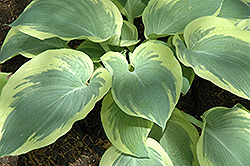 Northern Exposure Hosta (Hosta 'Northern Exposure') at North Branch Nursery