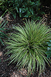 EverColor® Everillo Japanese Sedge (Carex oshimensis 'Everillo') at North Branch Nursery