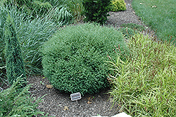 Mr. Bowling Ball Arborvitae (Thuja occidentalis 'Bobazam') at North Branch Nursery