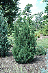 Blue Point Juniper (Juniperus chinensis 'Blue Point') at North Branch Nursery
