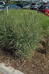 Ruby Ribbons Switch Grass (Panicum virgatum 'Ruby Ribbons') at North Branch Nursery