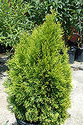 Highlights Arborvitae (Thuja occidentalis 'Janed Gold') at North Branch Nursery