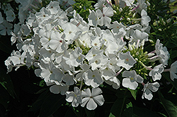 White Flame Garden Phlox (Phlox paniculata 'White Flame') at North Branch Nursery