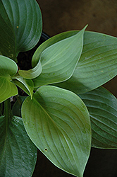 Empress Wu Hosta (Hosta 'Empress Wu') at North Branch Nursery