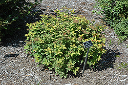 Double Play® Big Bang™ Spirea (Spiraea 'Tracy') at North Branch Nursery
