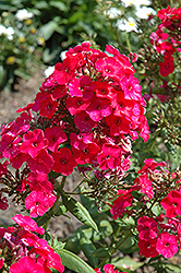 Red Flame Garden Phlox (Phlox paniculata 'Red Flame') at North Branch Nursery