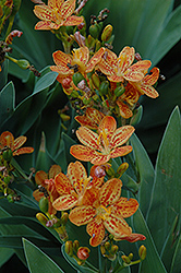 Freckle Face Blackberry Lily (Belamcanda chinensis 'Freckle Face') at North Branch Nursery