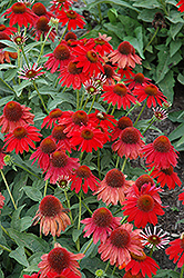 Sombrero Salsa Red Coneflower (Echinacea 'Balsomsed') at North Branch Nursery