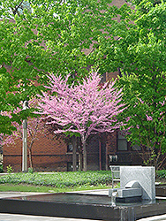 Eastern Redbud (tree form) (Cercis canadensis '(tree form)') at North Branch Nursery
