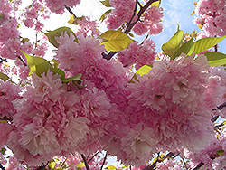 Kwanzan Flowering Cherry (Prunus serrulata 'Kwanzan') at North Branch Nursery