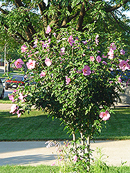 Aphrodite Rose of Sharon (Hibiscus syriacus 'Aphrodite') at North Branch Nursery