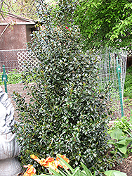 Blue Maid Meserve Holly (Ilex x meserveae 'Mesid') at North Branch Nursery