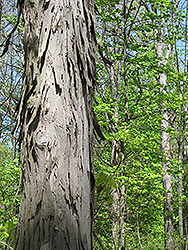 Shagbark Hickory (Carya ovata) at North Branch Nursery
