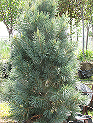 Vanderwolf's Pyramid Pine (Pinus flexilis 'Vanderwolf's Pyramid') at North Branch Nursery