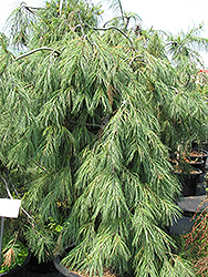 Weeping White Pine (Pinus strobus 'Pendula') at North Branch Nursery