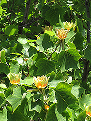Tuliptree (Liriodendron tulipifera) at North Branch Nursery