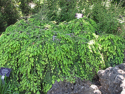 Cole's Prostrate Hemlock (Tsuga canadensis 'Cole's Prostrate') at North Branch Nursery
