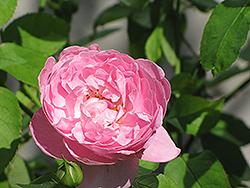 Mary Rose (Rosa 'Mary') at North Branch Nursery