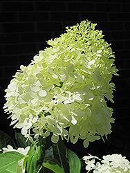 Limelight Hydrangea (Hydrangea paniculata 'Limelight') at North Branch Nursery