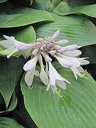Halcyon Hosta (Hosta 'Halcyon') at North Branch Nursery