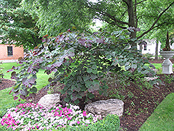 Forest Pansy Redbud (Cercis canadensis 'Forest Pansy') at North Branch Nursery