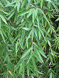 Clumping Bamboo (Fargesia denudata) at North Branch Nursery