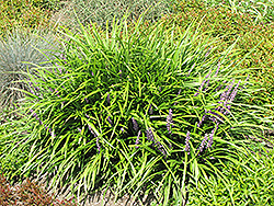 Lily Turf (Liriope spicata) at North Branch Nursery