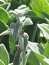 Helene Von Stein Lamb's Ears (Stachys byzantina 'Helene Von Stein') at North Branch Nursery