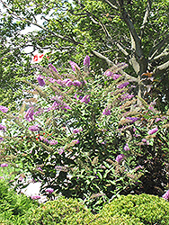 Pink Delight Butterfly Bush (Buddleia davidii 'Pink Delight') at North Branch Nursery