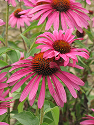 Ruby Star Coneflower (Echinacea purpurea 'Rubinstern') at North Branch Nursery