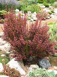 Orange Rocket Japanese Barberry (Berberis thunbergii 'Orange Rocket') at North Branch Nursery