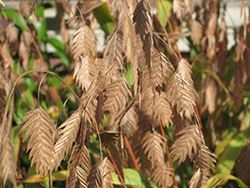 Northern Sea Oats (Chasmanthium latifolium) at North Branch Nursery