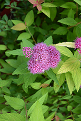 Double Play® Candy Corn® Spirea (Spiraea japonica 'NCSX1') at North Branch Nursery