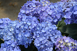 Let's Dance® Blue Jangles® Hydrangea (Hydrangea macrophylla 'SMHMTAU') at North Branch Nursery
