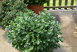 Low Scape® Mound Aronia (Aronia melanocarpa 'UCONNAM165') at North Branch Nursery